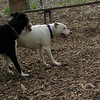 POWDER (white pitbull girl)_5