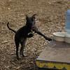 SHADOW (pitbull puppy)_4