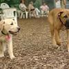 FRASER (lab puppy)_4