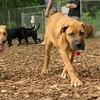 BODIE (african mastiff pup)_5