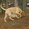 FRASER (lab puppy)_5