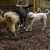 POWDER (white pitbull girl)_11