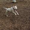 POWDER (white pitbull girl)_7