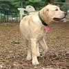 FRASER (lab puppy)_6