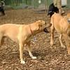BODIE (african mastiff pup)_8
