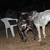 SHADOW (pitbull puppy)_2