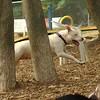 POWDER (white pitbull girl)_9