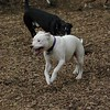 POWDER (white pitbull girl)_3