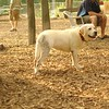 ROXY (lab puppy)_15