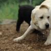 ROXY (lab puppy)_19