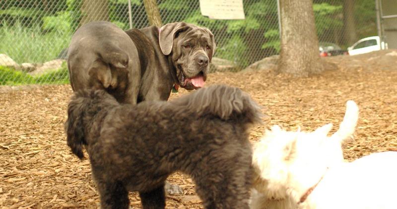 CARTER mastiff girl_5