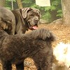 CARTER mastiff girl_5