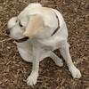 ROXY (lab puppy)_5