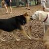 ROXY (lab puppy)_18