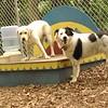 ROXY (lab puppy)_20