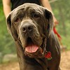 CARTER mastiff girl_10