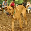 BUFFY (ridgeback mix)_2