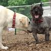 ROXY (lab puppy)_6