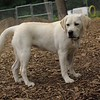 ROXY (lab puppy)_10