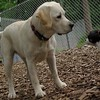 ROXY (lab puppy)_8