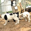 ROXY (lab puppy)_14