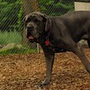 CARTER mastiff girl_7