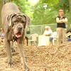 CARTER mastiff girl_14