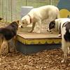 ROXY (lab puppy)_16