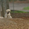ROXY (lab puppy)_21