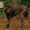 CARTER mastiff girl_3