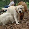 ROXY (lab puppy)_4