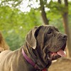 CARTER mastiff girl_13