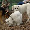 ROXY (lab puppy)_3