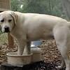ROXY (lab puppy)_13