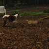 Lemmy, Chase (greyhound)_5