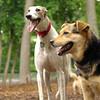Chase (greyhound), Maddie_5