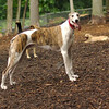 CHASE (greyhound rescue)_11