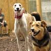 Chase (greyhound), Maddie_6
