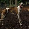 CHASE (greyhound rescue)_10