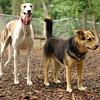 Chase (greyhound), Maddie_8
