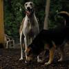 Chase (greyhound), Maddie_1