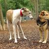 Chase (greyhound), Maddie_2