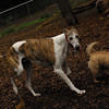 Lemmy, Chase (greyhound)_4