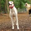Chase (greyhound), Maddie_11