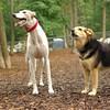 Chase (greyhound), Maddie_12