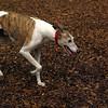 CHASE (greyhound rescue)_1