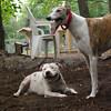 CHASE (greyhound), POWDER_22
