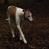 CHASE (greyhound rescue)_4