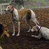 CHASE (greyhound), POWDER_19