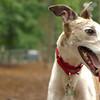CHASE (greyhound rescue)_2